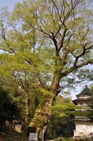 観音堂の植物 欅