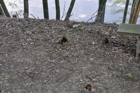 観音堂の植物 竹の子2