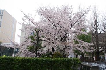 4月5日東京西巣鴨の桜