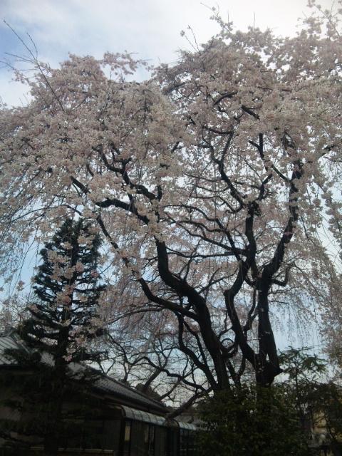 中院 枝垂れ桜2