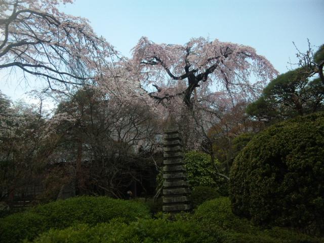 中院 枝垂れ桜