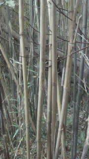 良い具合に立ち枯れした竹