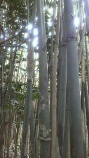 自生して3年ぐらい経った竹は、節皮がボロボロに枯れています