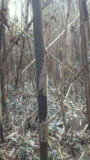 自生して2年ぐらいの竹は、節の皮が枯れ茶色になっています