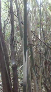 自生して1年ぐらいの竹は、節の皮が白くしっかりしています