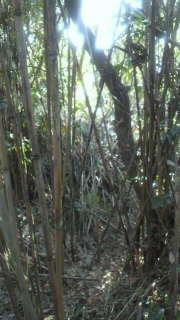 女竹の竹林