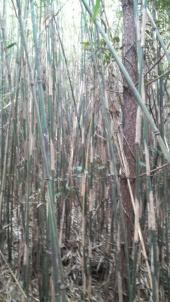篠笛の材料となる女竹です。篠笛に使えそうな太さや節間(ふしま)のある真っ直ぐな女竹は探してもなかなか見付かりません。篠笛に興味のない方からしてみたら、ただの雑木林にしか見えないと思われるかも知れませんが私には宝の山にしか見えません。(笑)