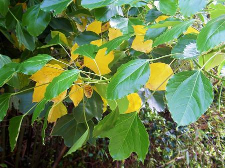 カクレミノの黄葉