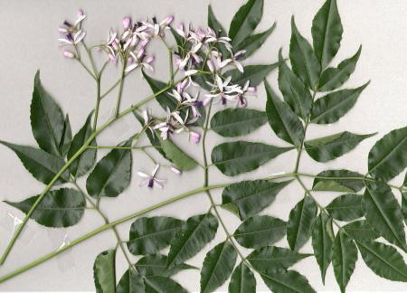 センダンの葉と花
