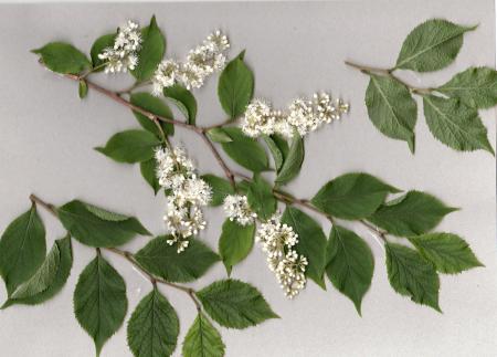 タンナサワフタギの花
