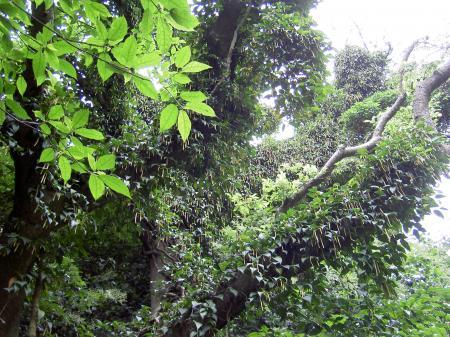 フウトウカズラが樹上に高く這い登る