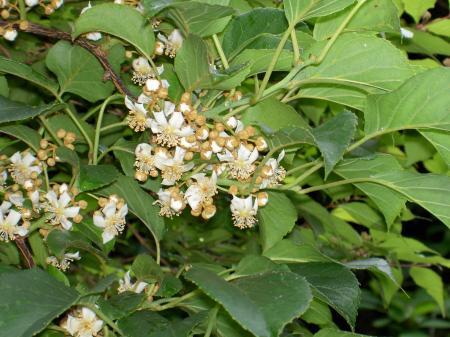 シマサルナシの花