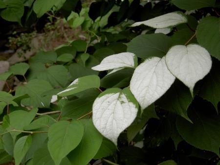 マタタビの白変葉