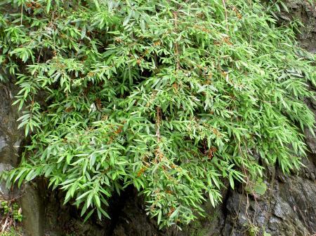 垂直の岩壁に張り付くヤナギイチゴ