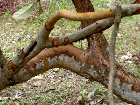 幹の樹皮をかじられたビワの木