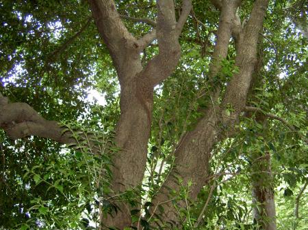 ヒイラギの大木