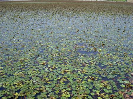 ヒシが池の面を覆い尽くす