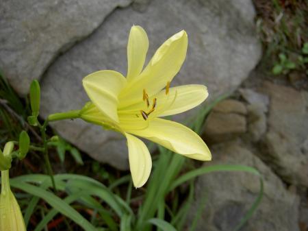 ユウスゲの花