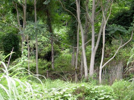 灰色っぽい幹のニワウルシ