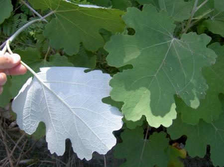 葉の裏面は著しく白い
