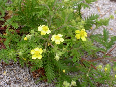 カワラサイコの花
