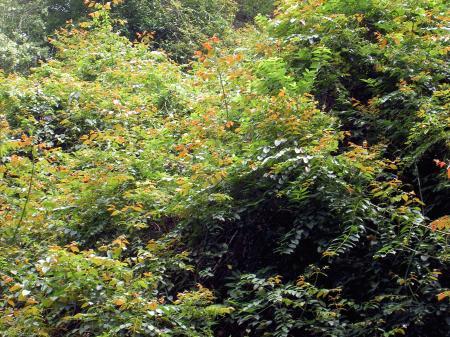 カギカズラは他樹を覆い尽くす