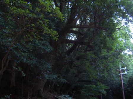 雲霧帯で発達するアカガシ林