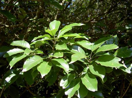 アカガシの葉