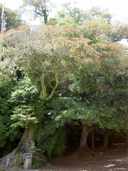 タブノキの大木