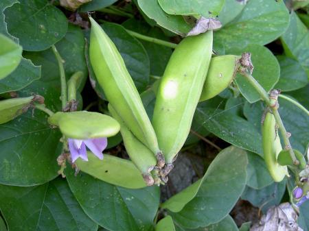 ハマナタマメの豆果