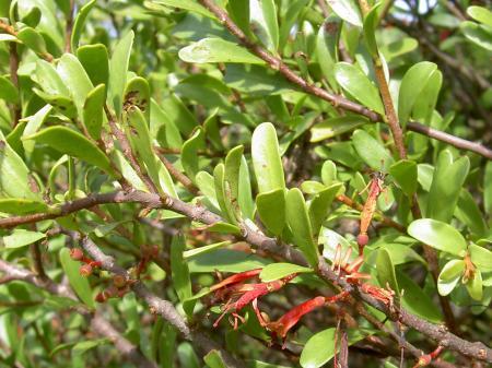 マツグミの葉