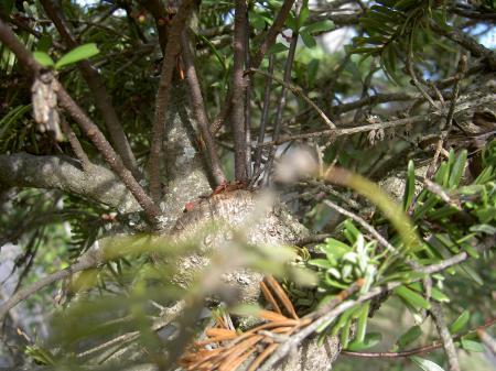 マツグミの根とモミの枝の合着部分