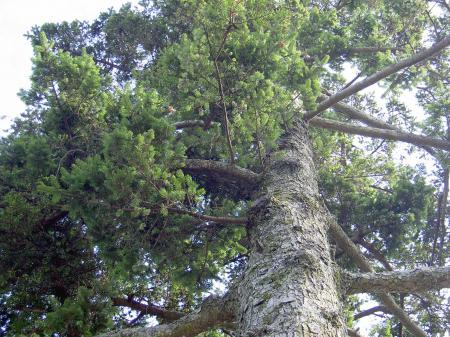 宿主のモミの大木
