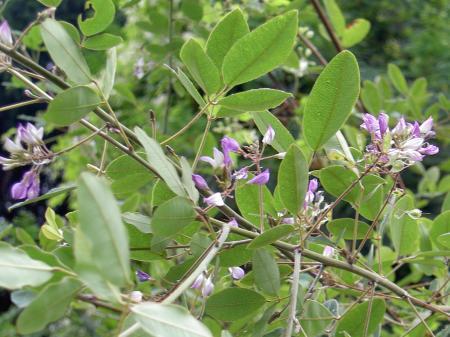 ヤマハギの花