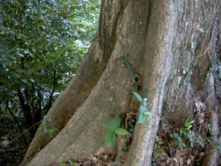シイの大木では板根ができる