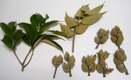 シイの葉と堅果