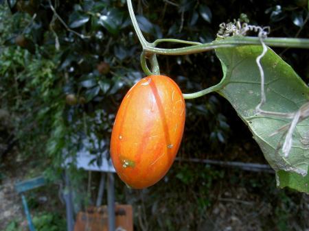 カラスウリの果実