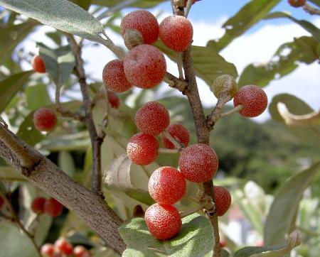 アキグミの果実