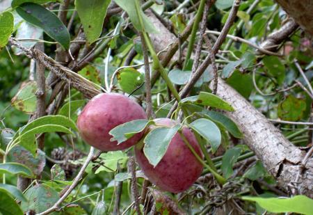 ムベの果実 2個成り