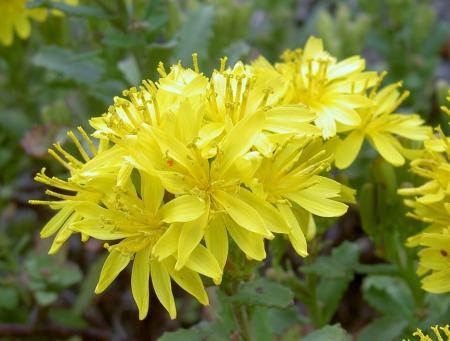 アゼトウナの花