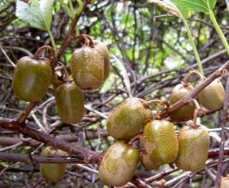 シマサルナシの果実
