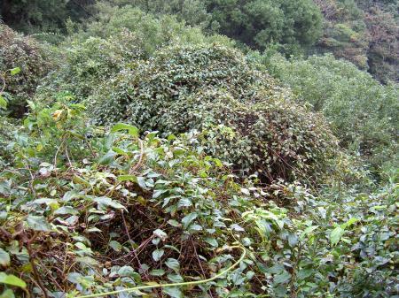 他樹を覆い尽くすシマサルナシの蔓