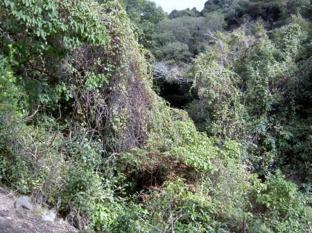 シマサルナシの自生地の谷