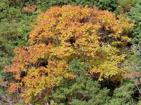 橙色系のコナラ