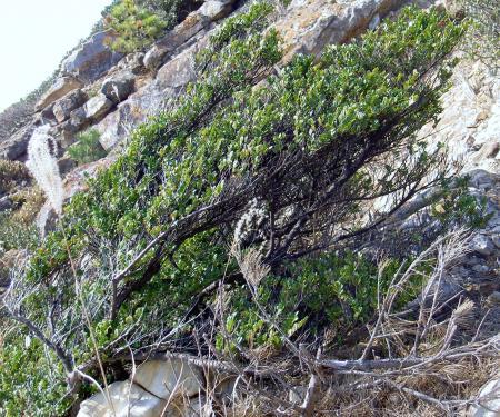 見事な扁形樹