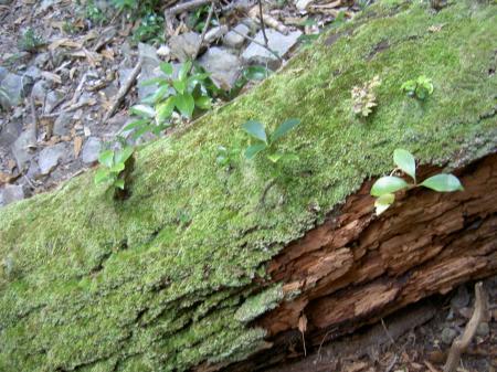 不朽した倒木の上の幼個体