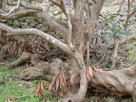 この木に未曾有の自然災害の記憶があります。