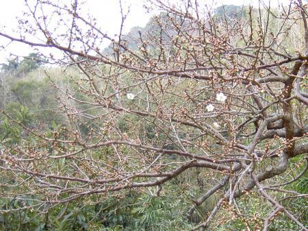 3月3日に開花したウメの木