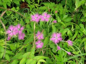 高山植物3