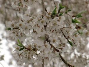 糸桜の花びら